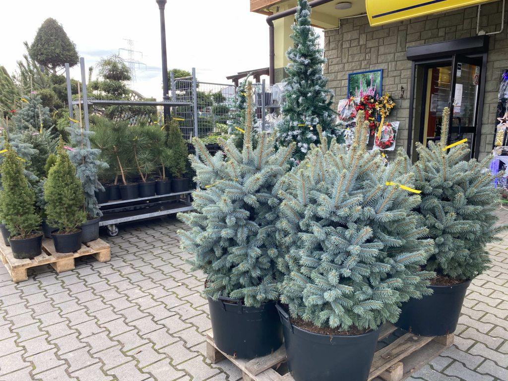 Centrum Ogrodnicze Patio Oświęcim Żywa Choinka Świerk Syberyjski
